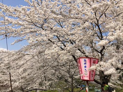 桜2章n.jpg