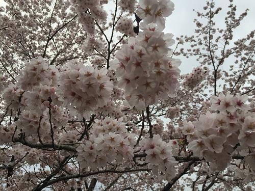 桜三昧c.jpg