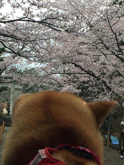 桜三昧e.jpg