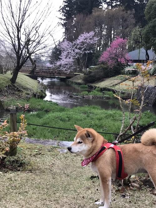 桜三昧h.jpg