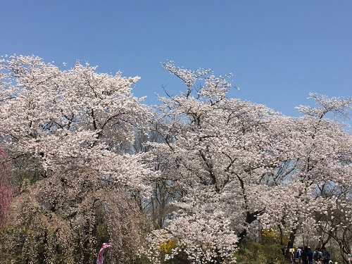 桜2章a.jpg