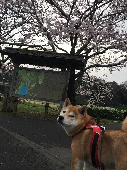 桜三昧o.jpg